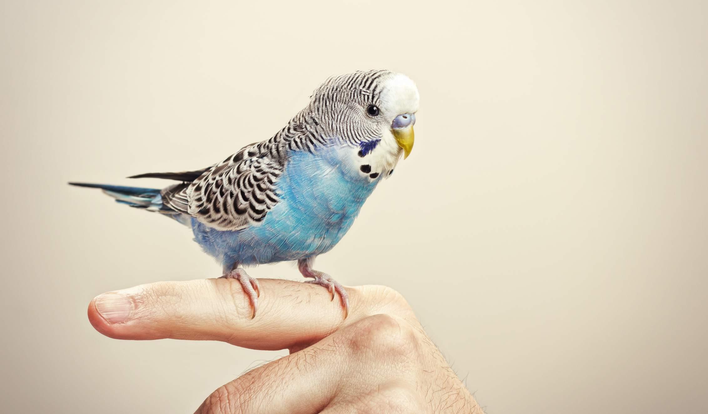 older pet bird