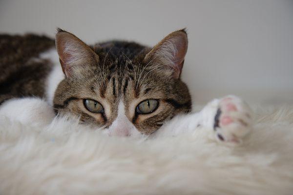 cat on white carpet