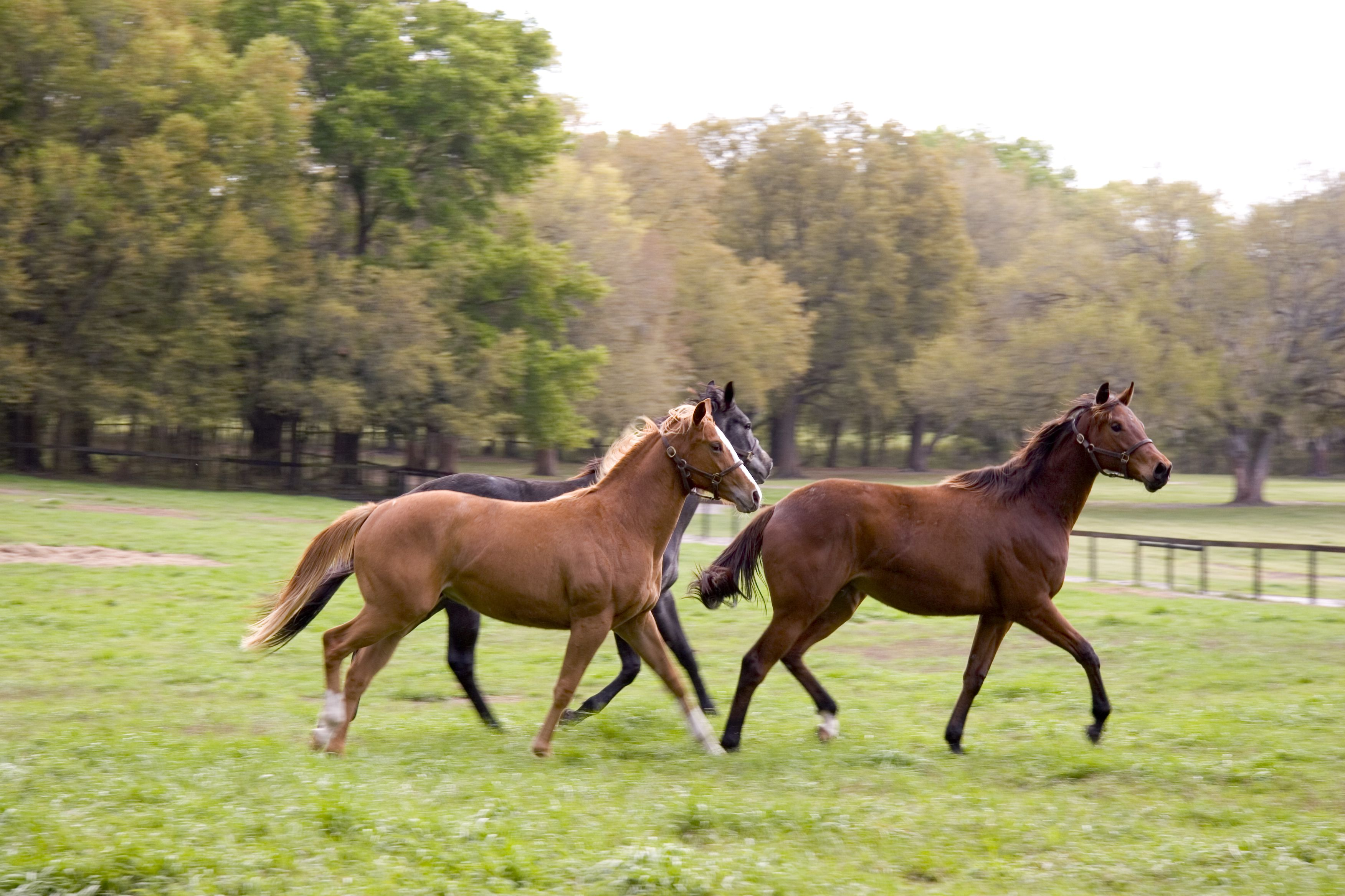 Three horses running on a field at a farm in front of trees