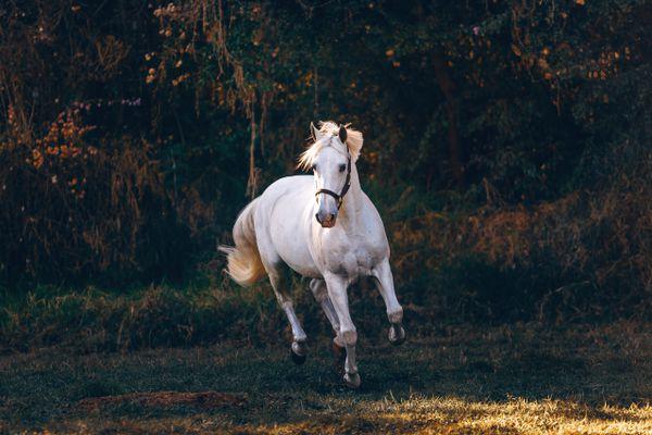 white horse running