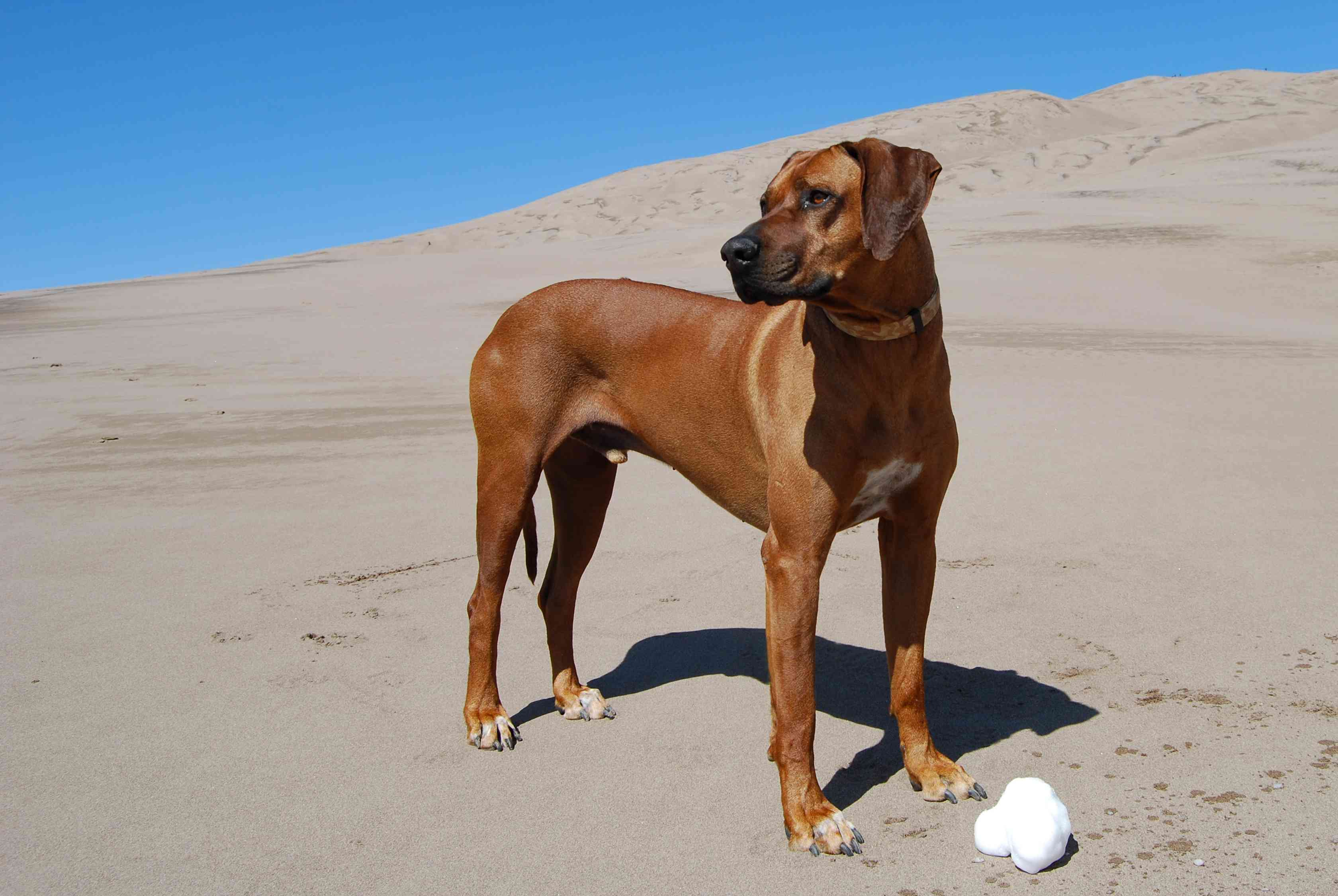 An elegant, brown Rodhesian Ridgeback standing tall on a sand dune with blue sky in the background.