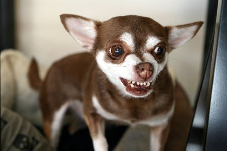 Bared Teeth in Dogs: Aggression or Smiling?
