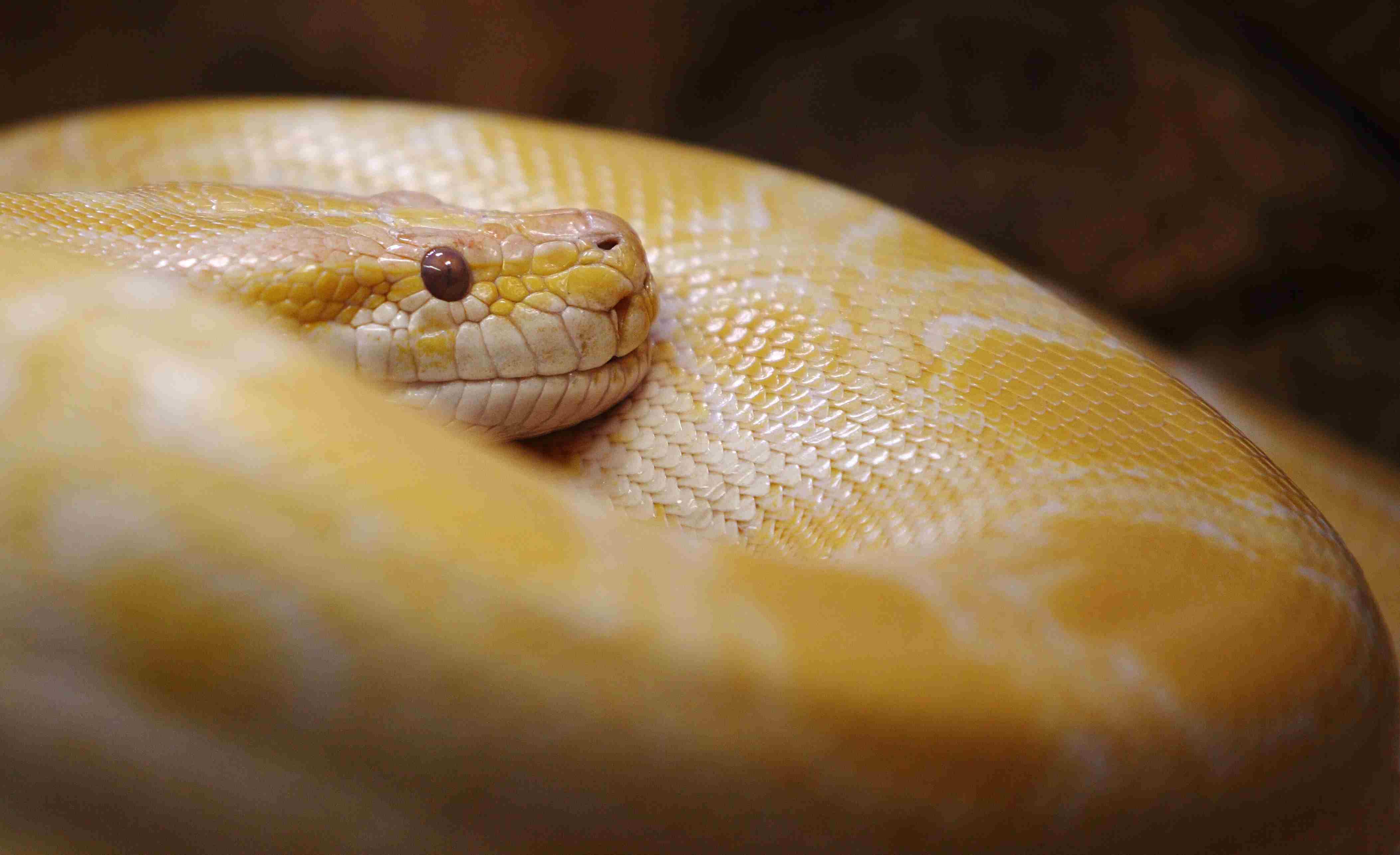 Portrait of Burmese Python