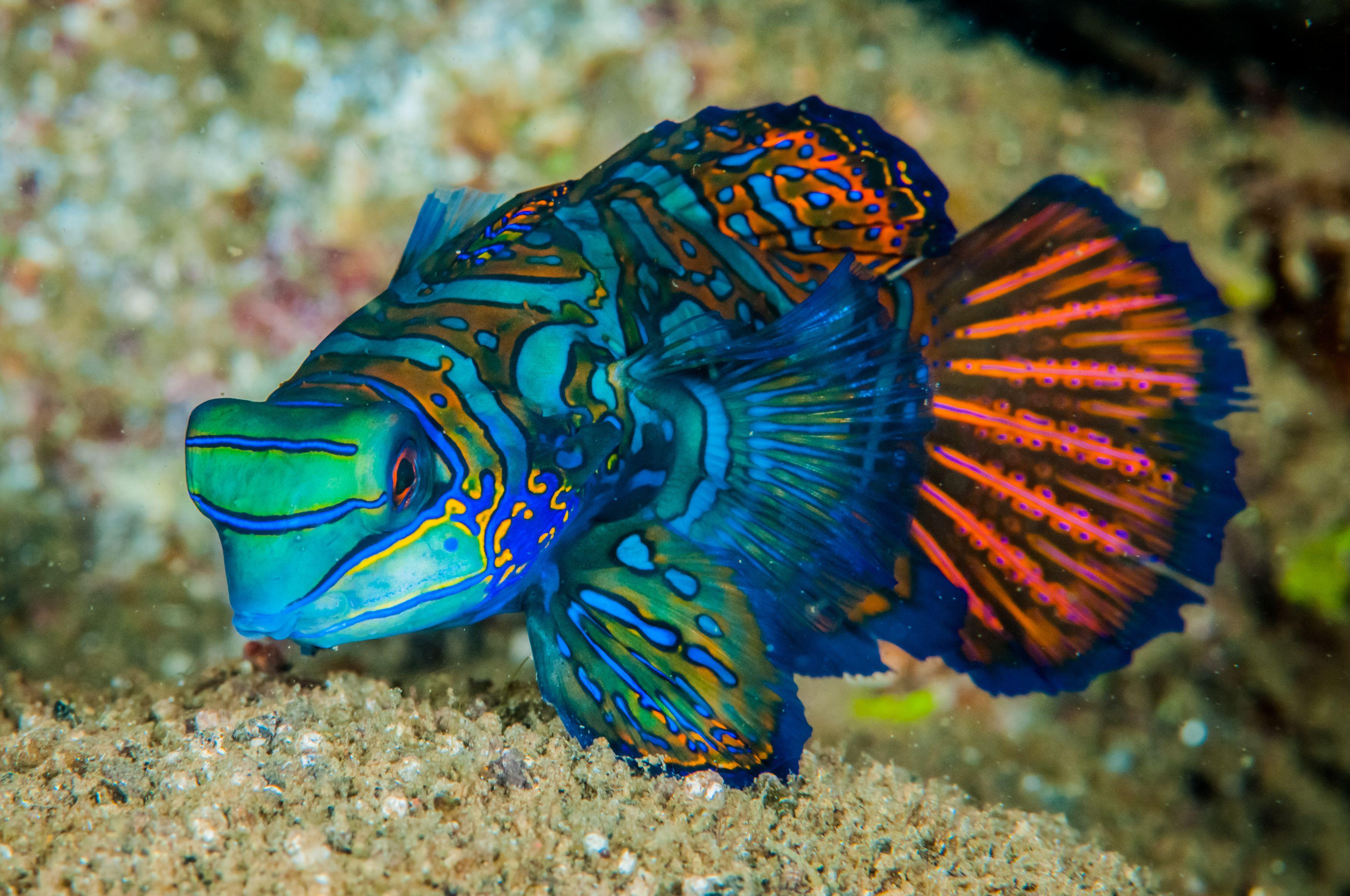 Dragonet mandarinfish in Banda, Indonesia underwater photo