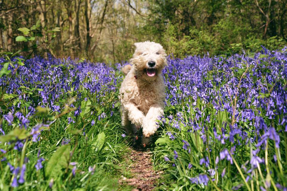 dog running through bluebells