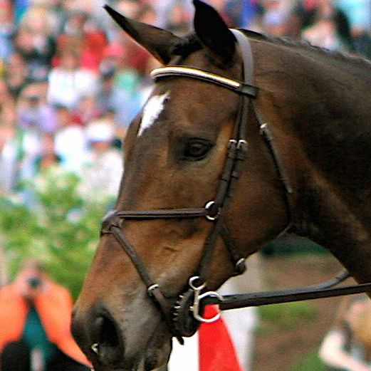 Horse wearing figure eight nose band on bridle.