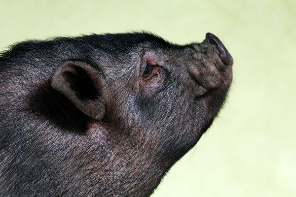 Pot bellied pig profile