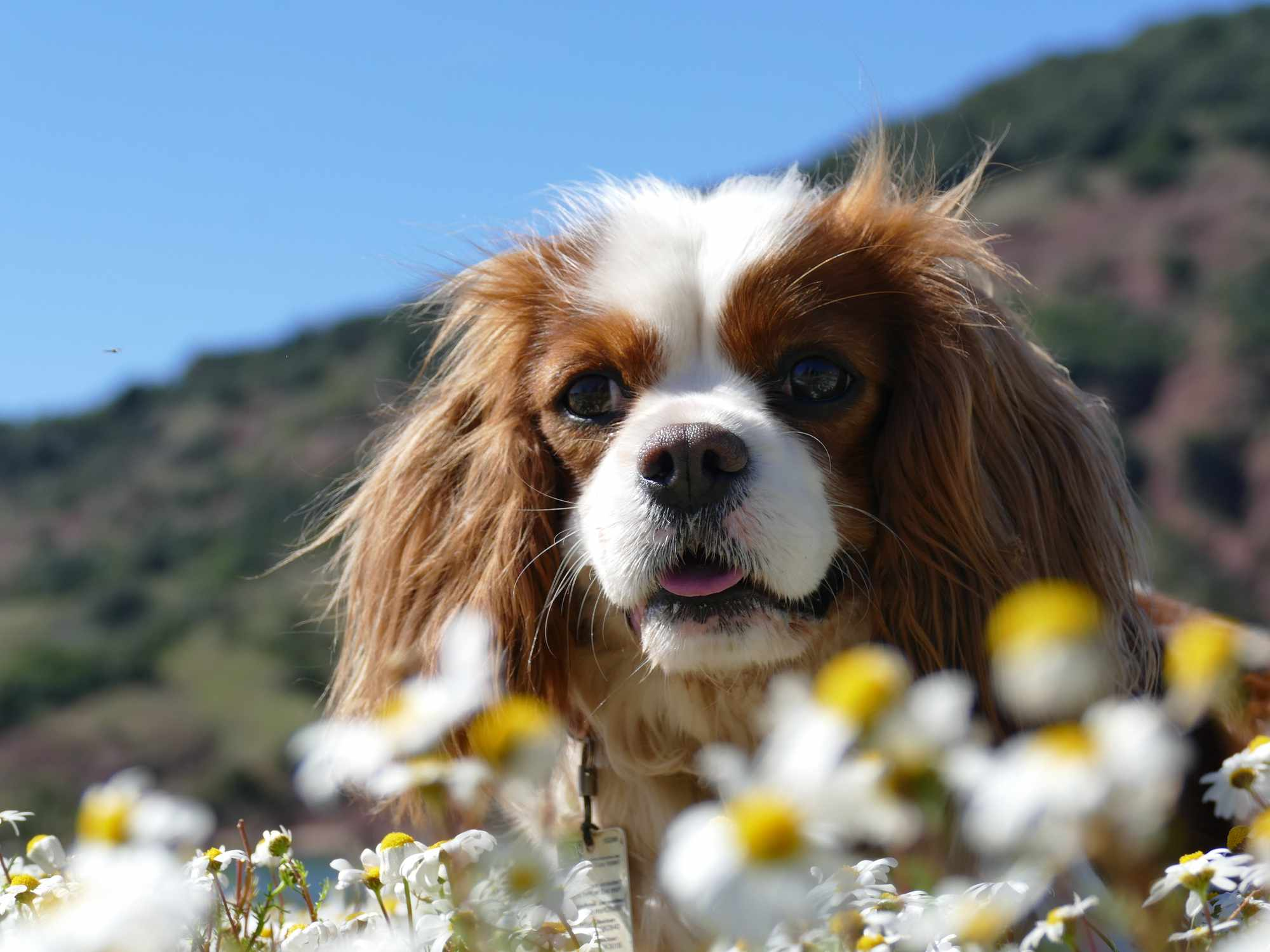 Cavalier King Charles Spaniel in front of some daisies