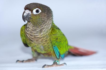 Green-Cheeked Conure Bird Species Profile