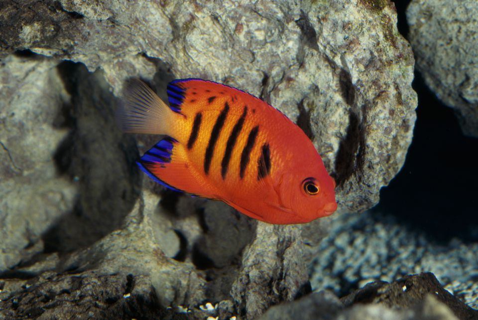 Close-up of a Flame Angelfish (Centropyge loriculus)