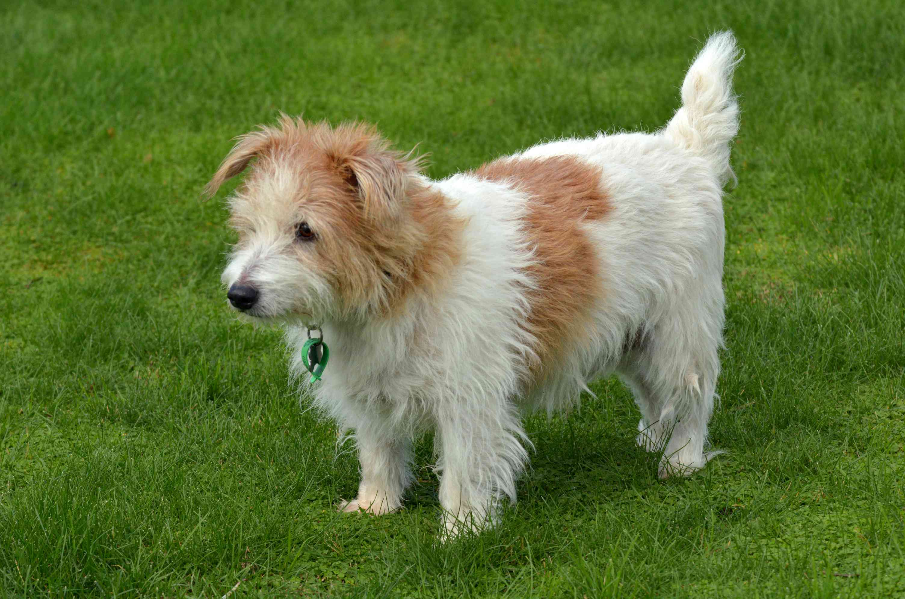 Red and white Norfolk terrier