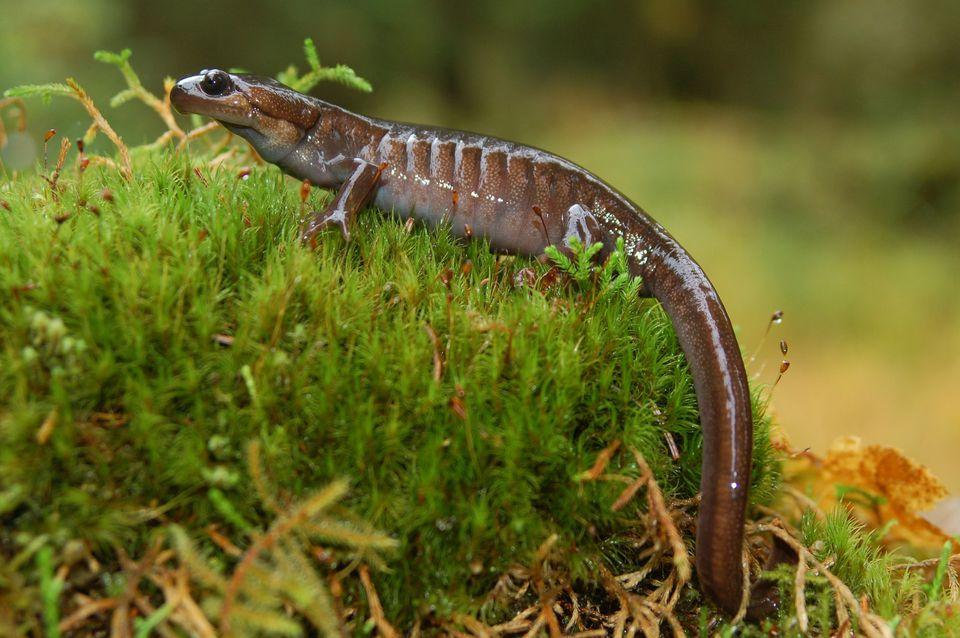 Salamander on moss