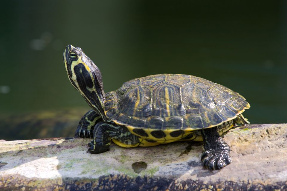 Red-eared Slider sunbathing
