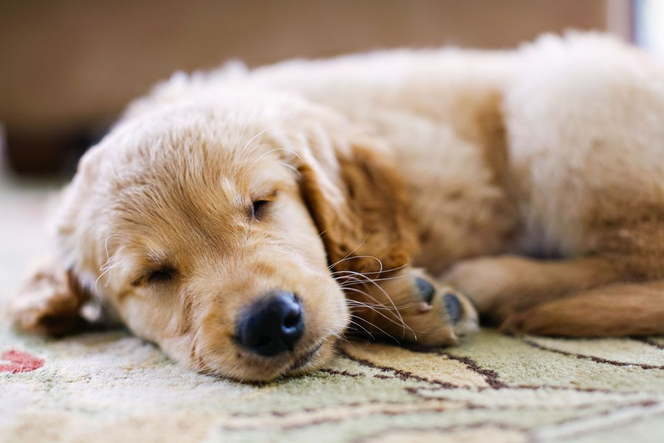 Dog Sleeping on Carpet in Home