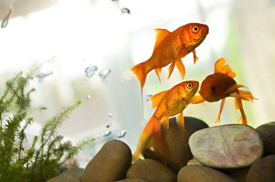 peces de colores en acuario