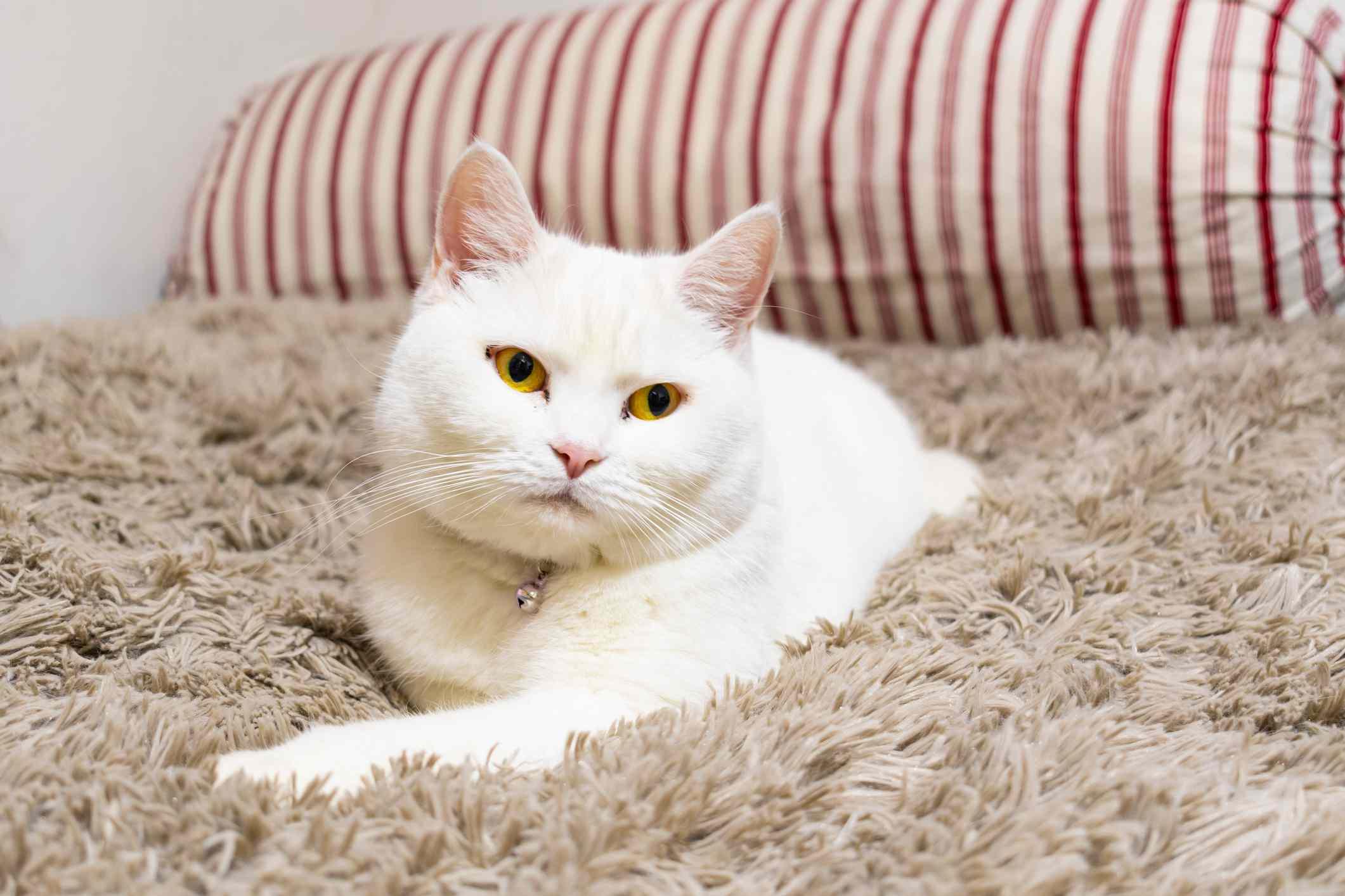 White cat lying on rug; british shorthair