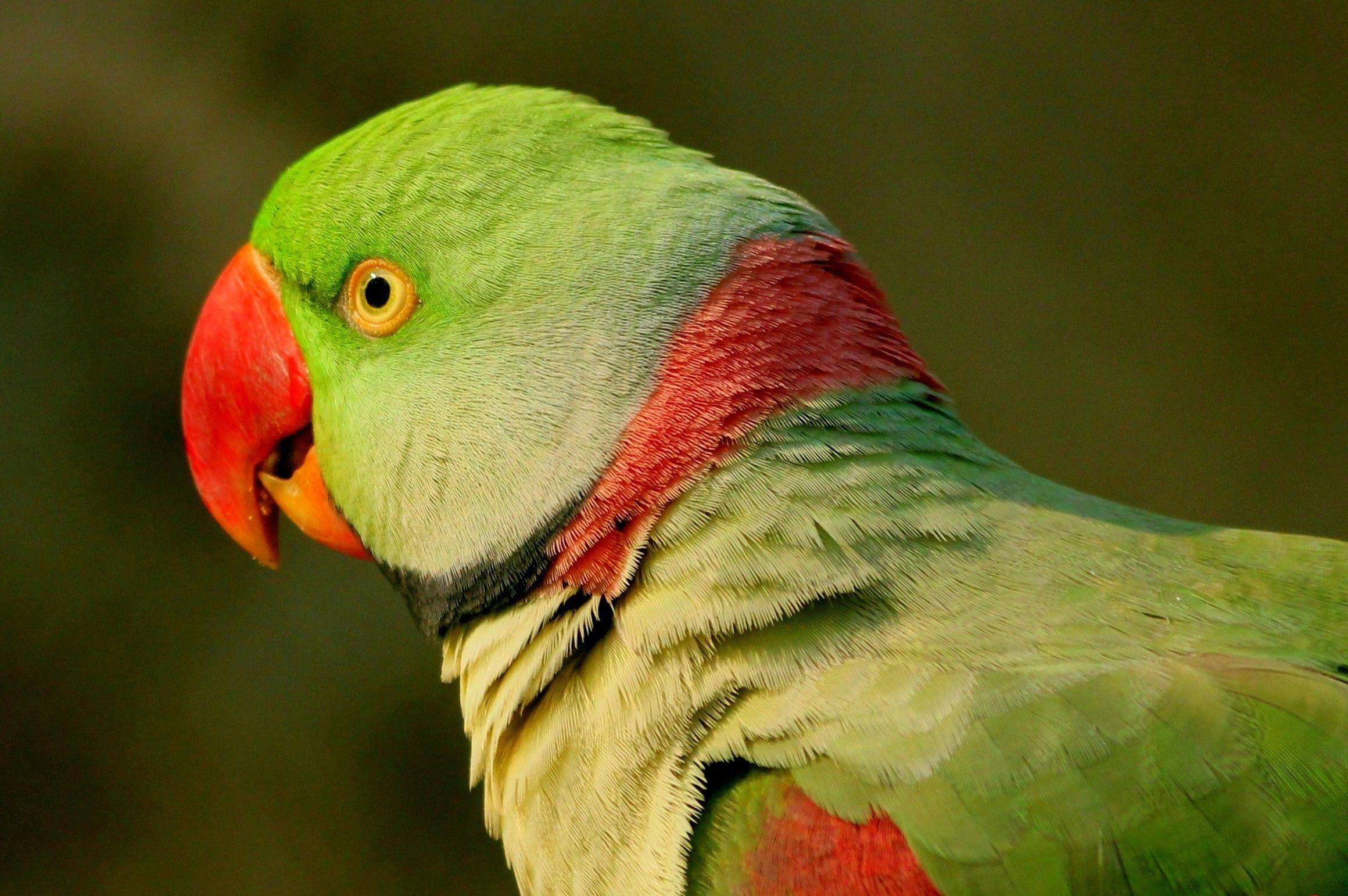 Alexandrine Parakeets As Pets