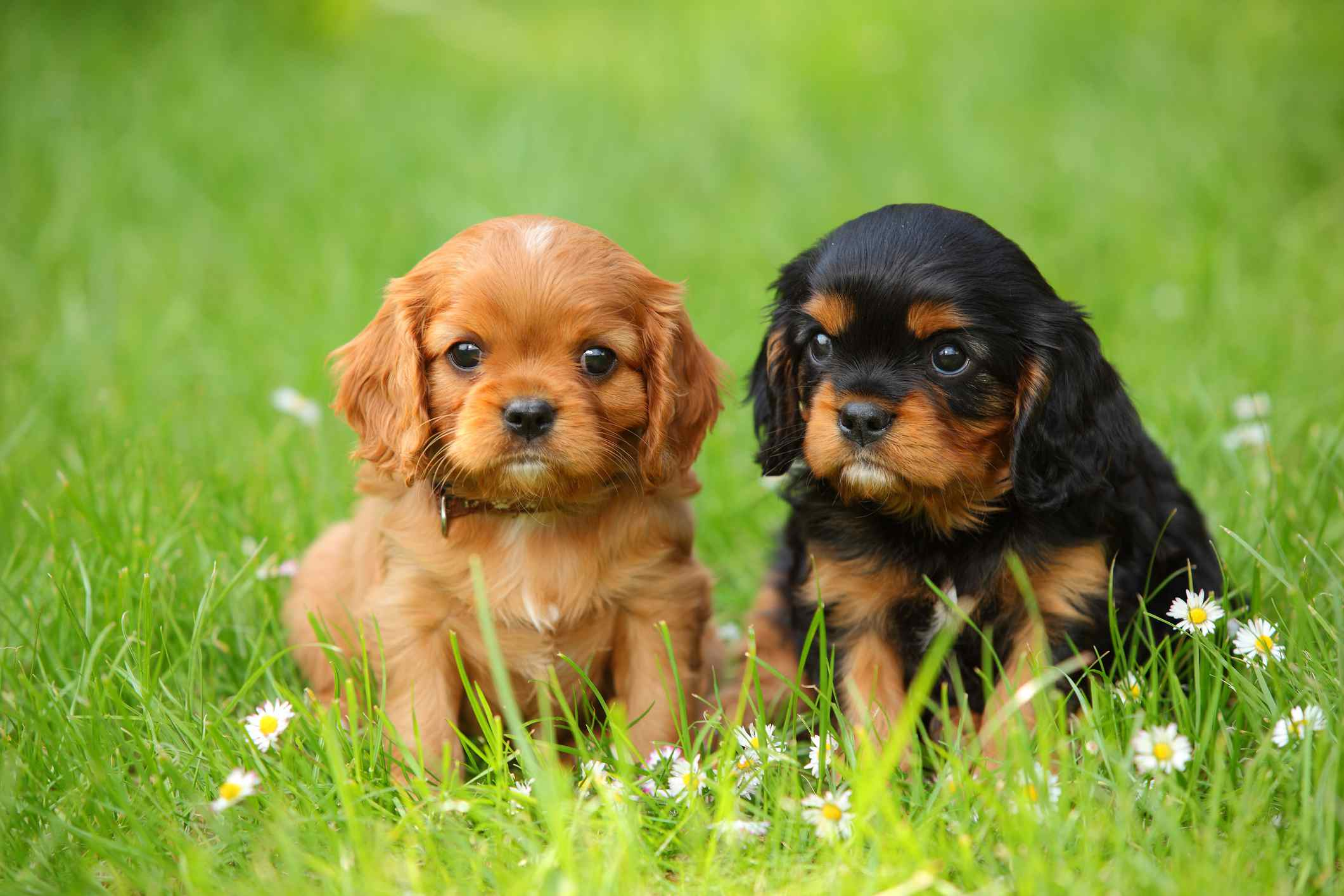 Two Cavalier King Charles Spaniel Puppies