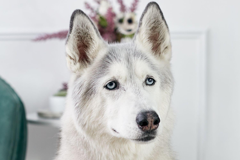 retrato de un husky siberiano