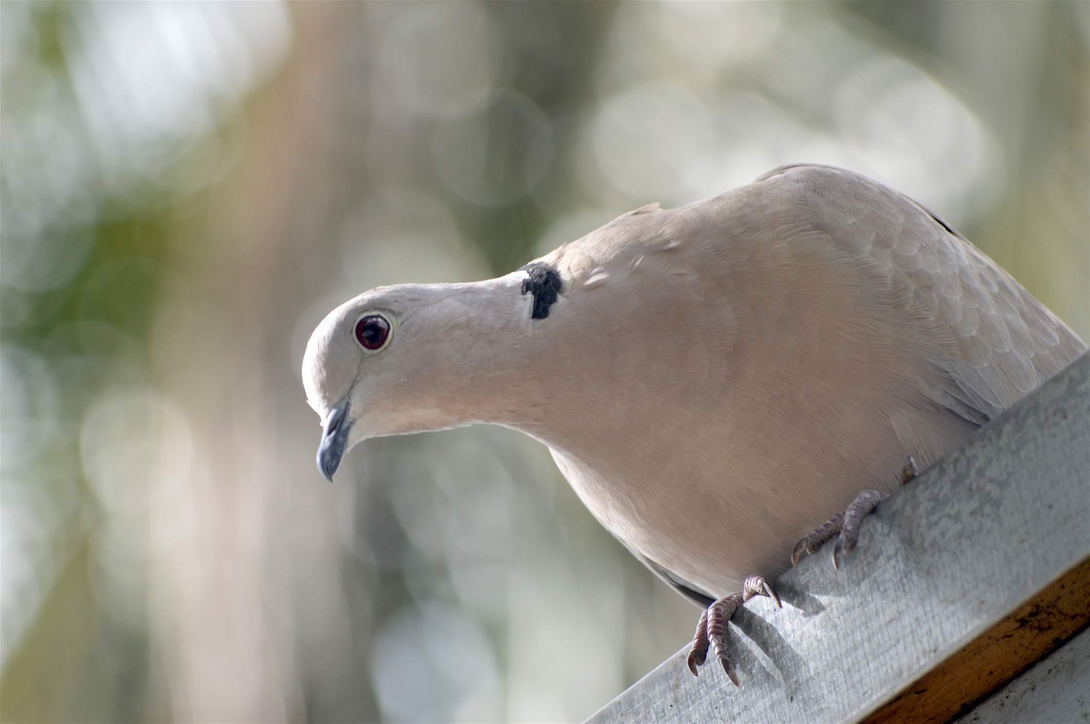 White dove perched