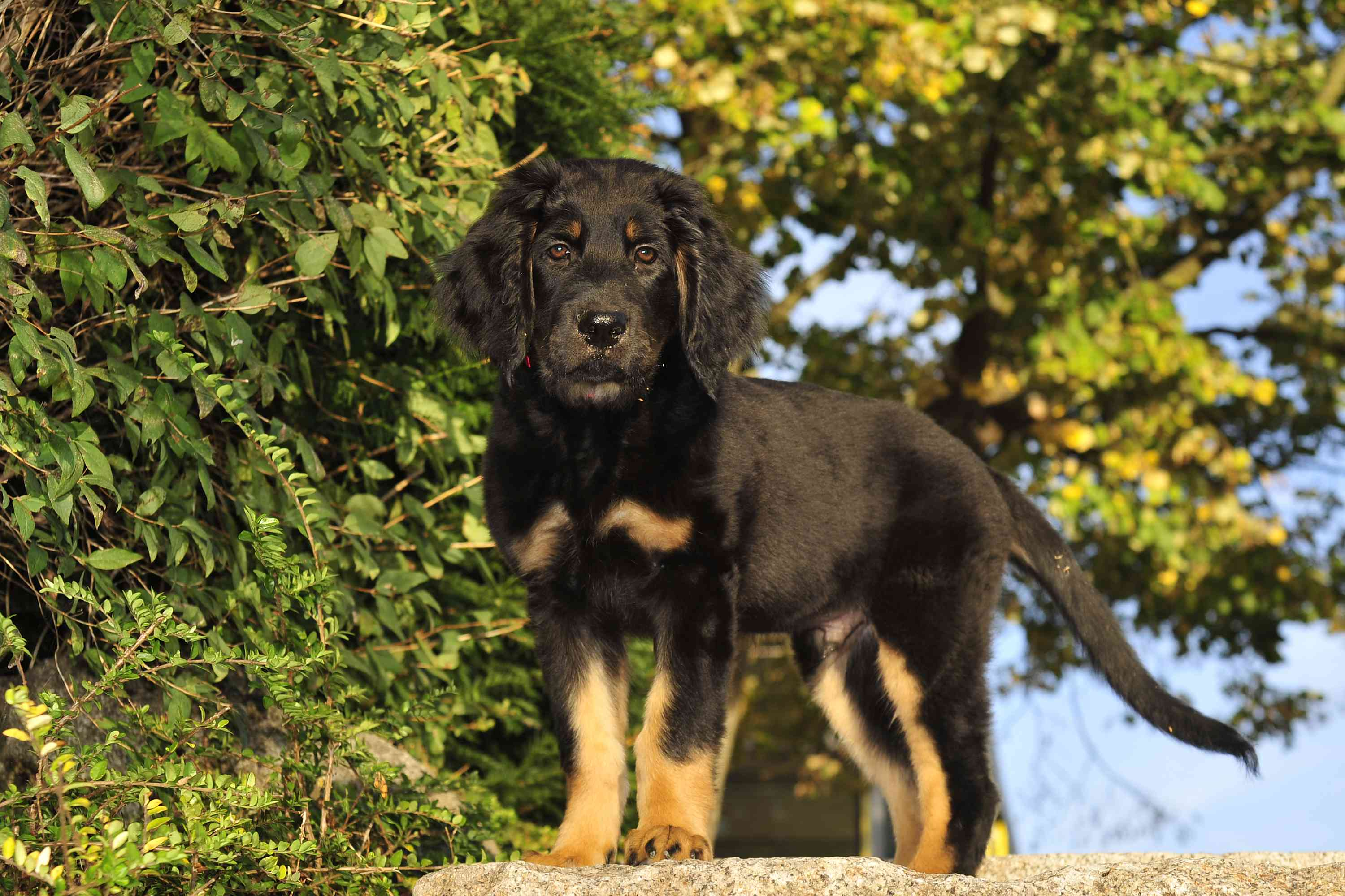 Hovawart puppy with black and tan coat