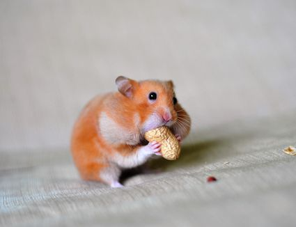 Close-Up Of A Hamster Eating Groundnut