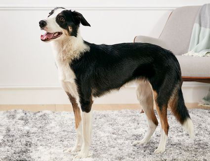 Border collie dog standing indoors in profile