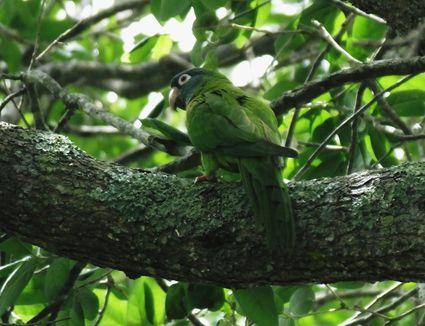 Blue-crowned Parakeet (Aratinga acuticaudata)