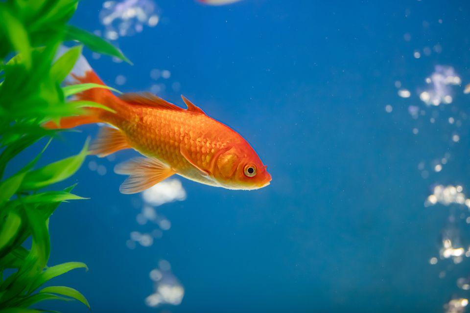 Goldfish in a tank