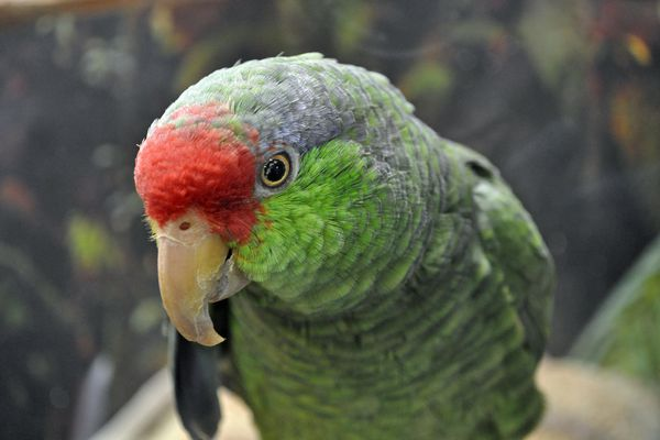 Red-crowned Amazon parrot staring at the camera.