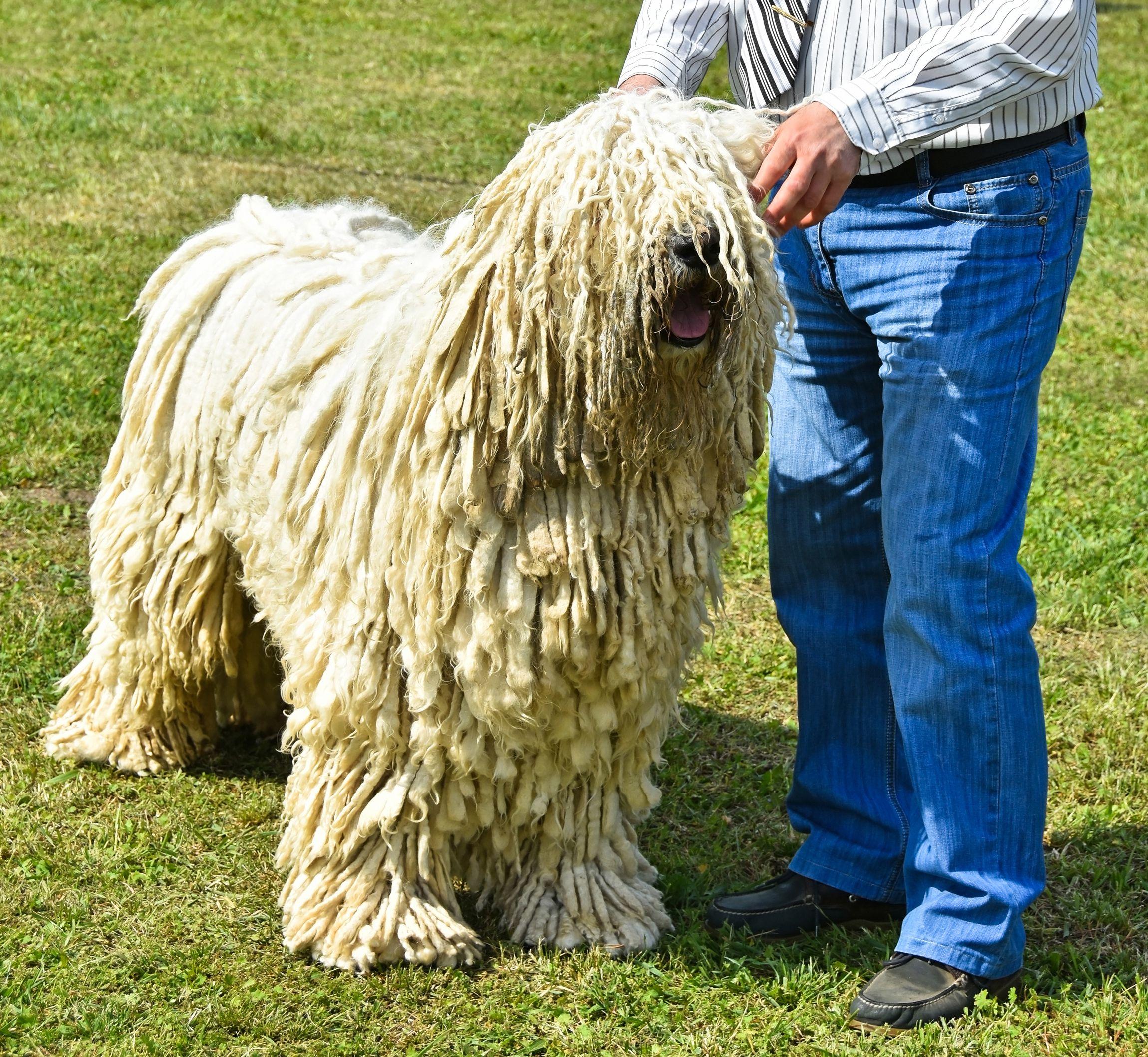 Komondor at a dog show.