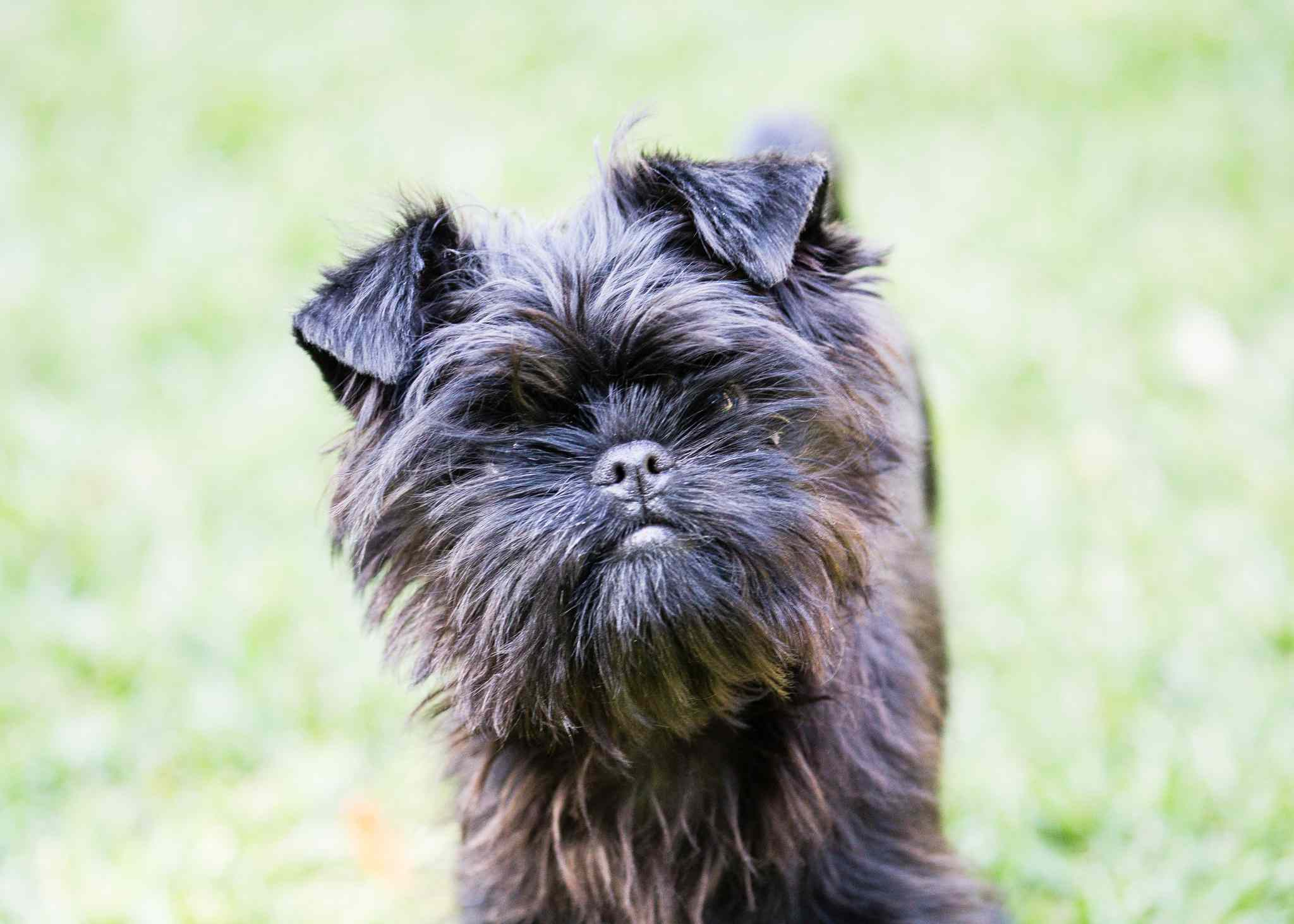 A small, black terrier dog looking at the camera.