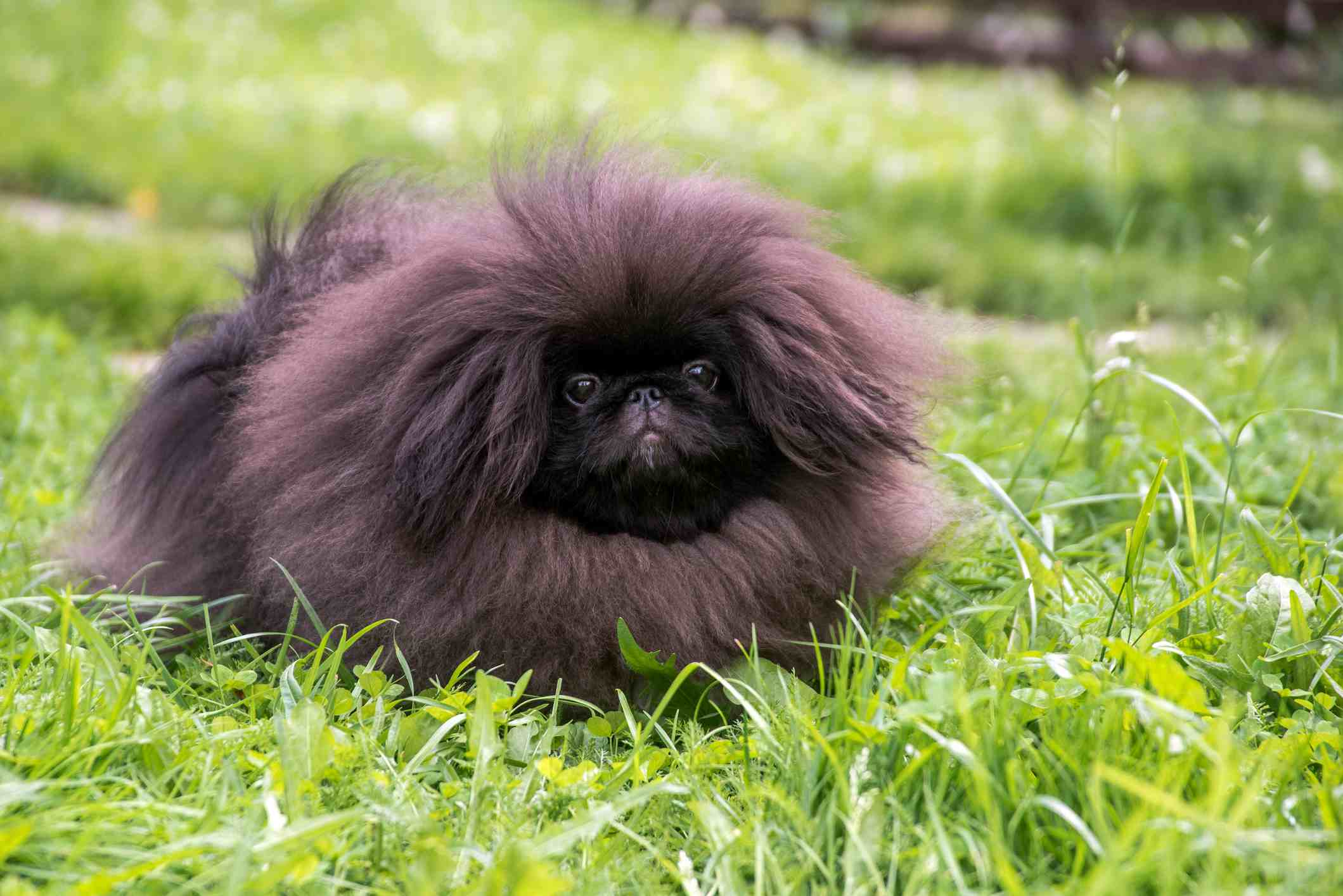 Cute black puppy pekingese dog sitting on the green grass