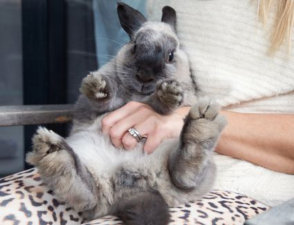 Gray and black rabbit being rubbed on its stomach