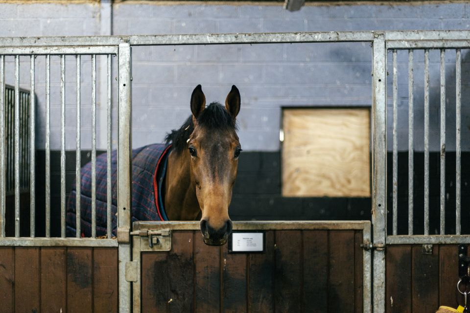 A racehorse in a stable