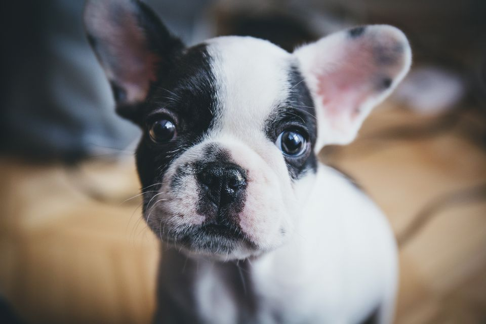 A French Bulldog puppy looking at the camera.