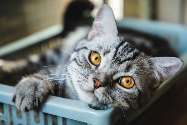 Cute American shorthair striped cat taking a nap at home