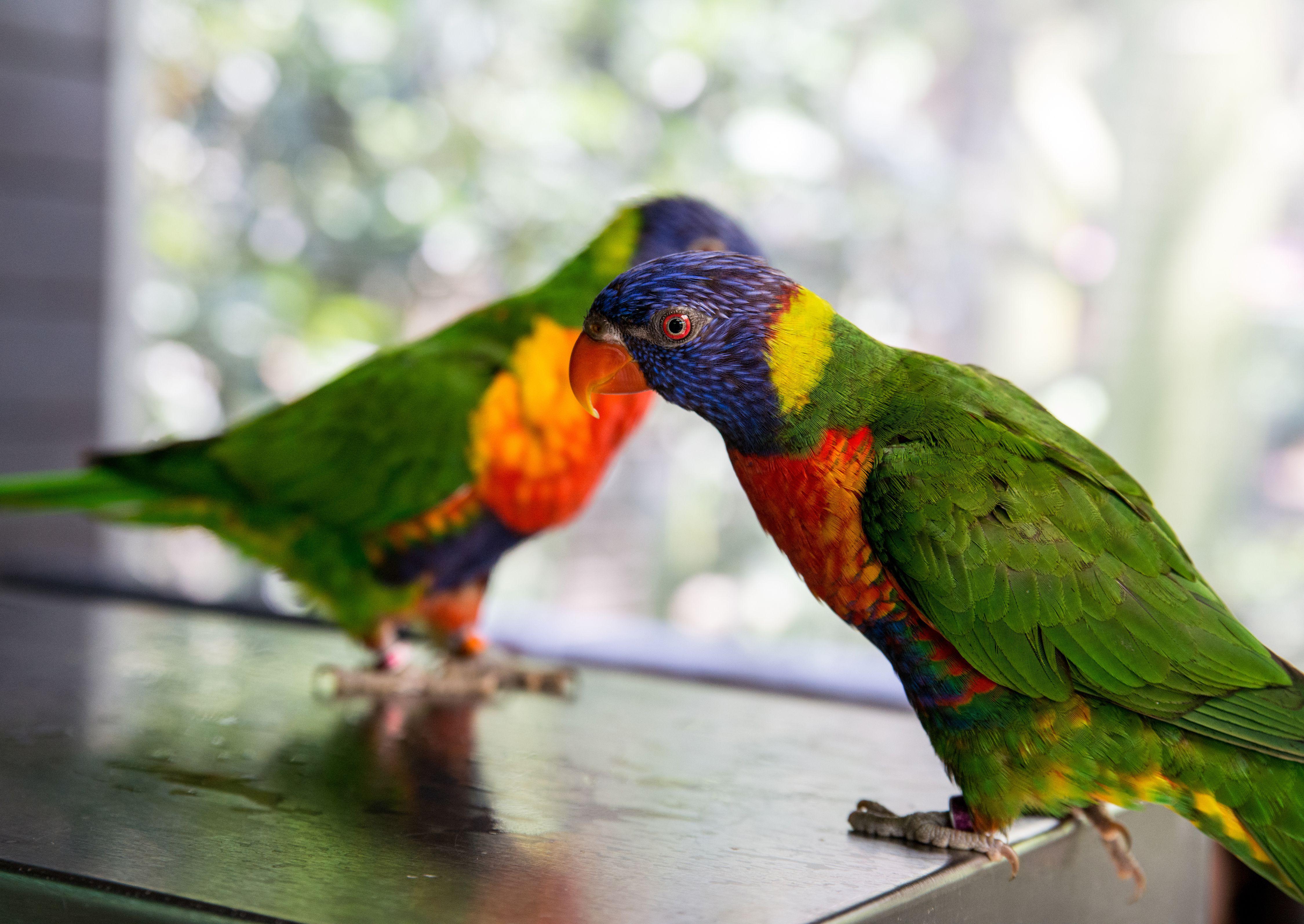Rainbow lorikeets perching on table
