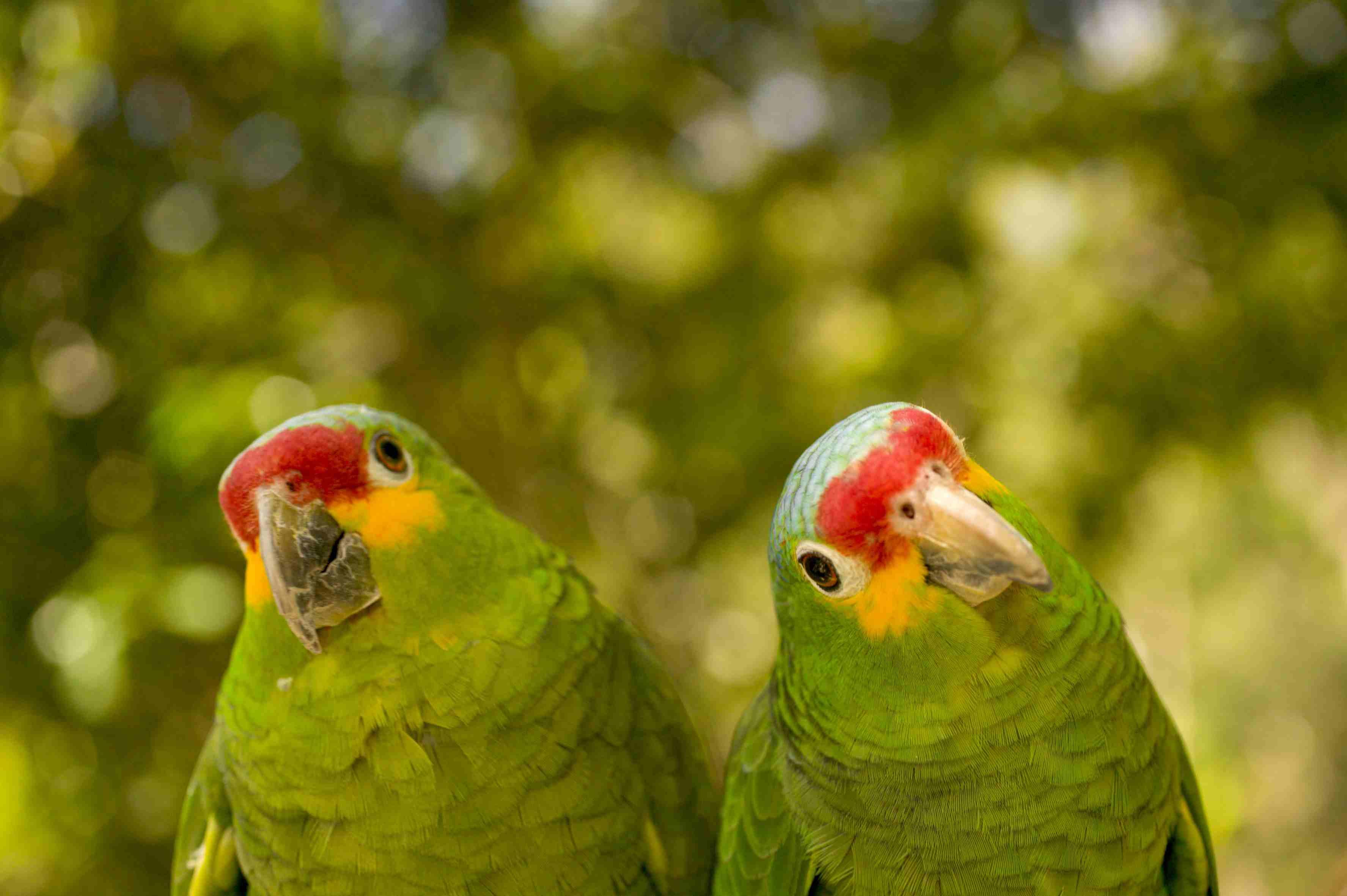 Red-lored Amazon (Amazona autumnalus) pair, close-up