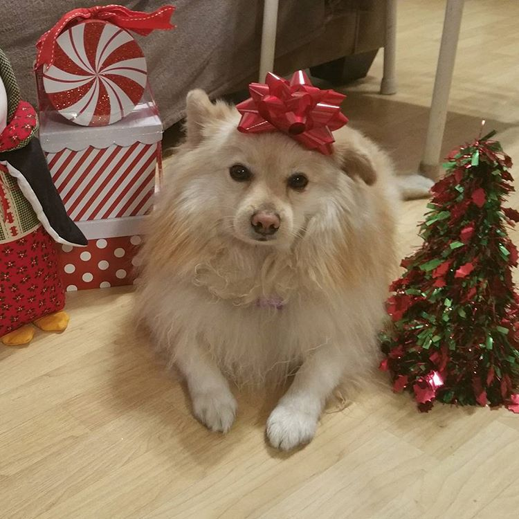 A fluffy white pomeranian dog with a red Christmas bow on its head.