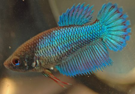 Female Betta Fish Color Variations