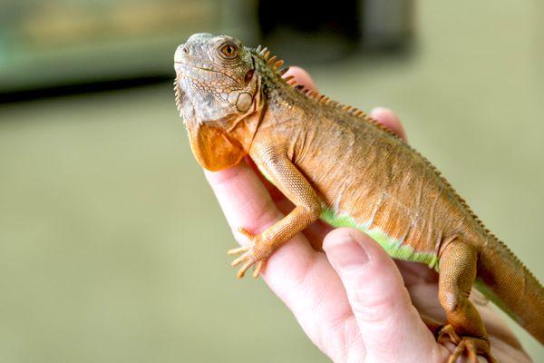 Hand holding an iguana