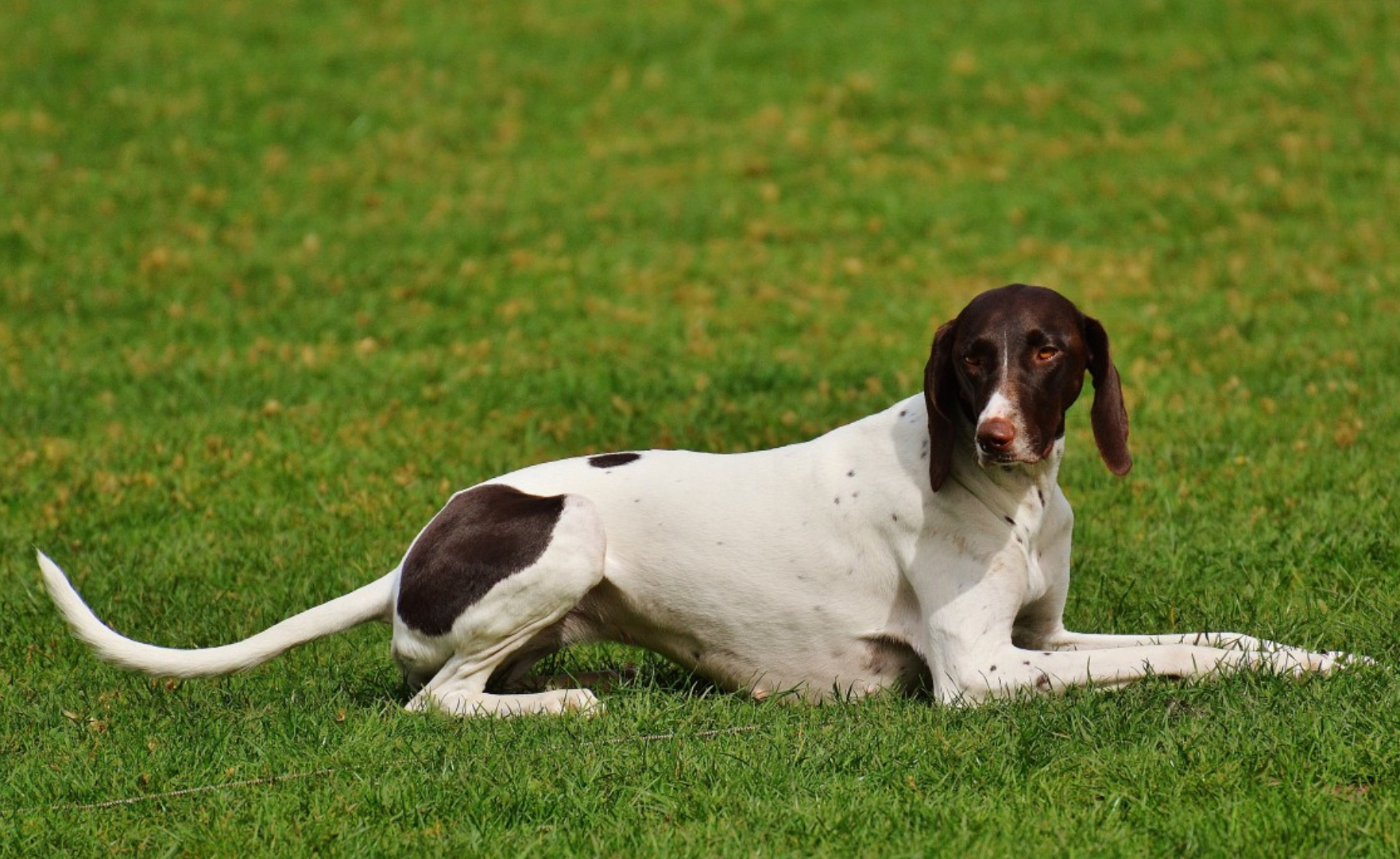 halden hound
