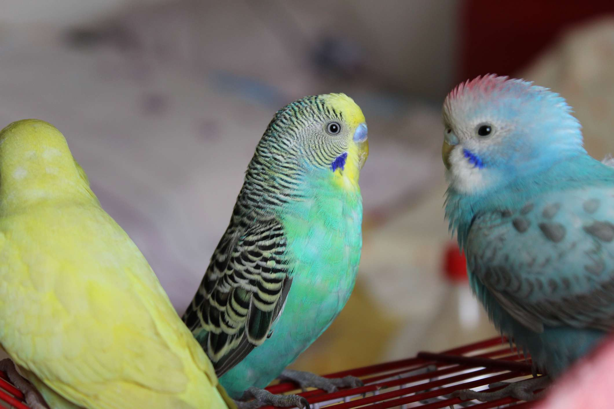 pet budgies standing together