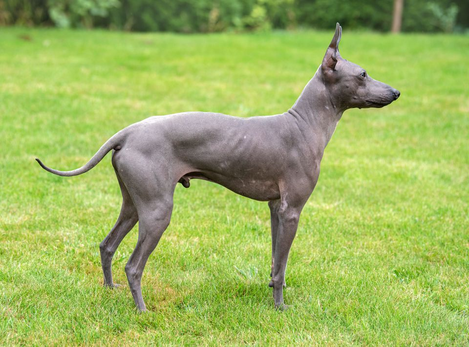 Gray American hairless terrier standing on grass in profile