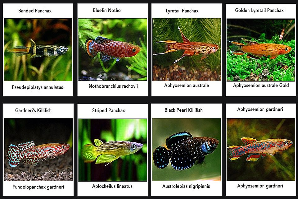 Killifish and how to keep them
