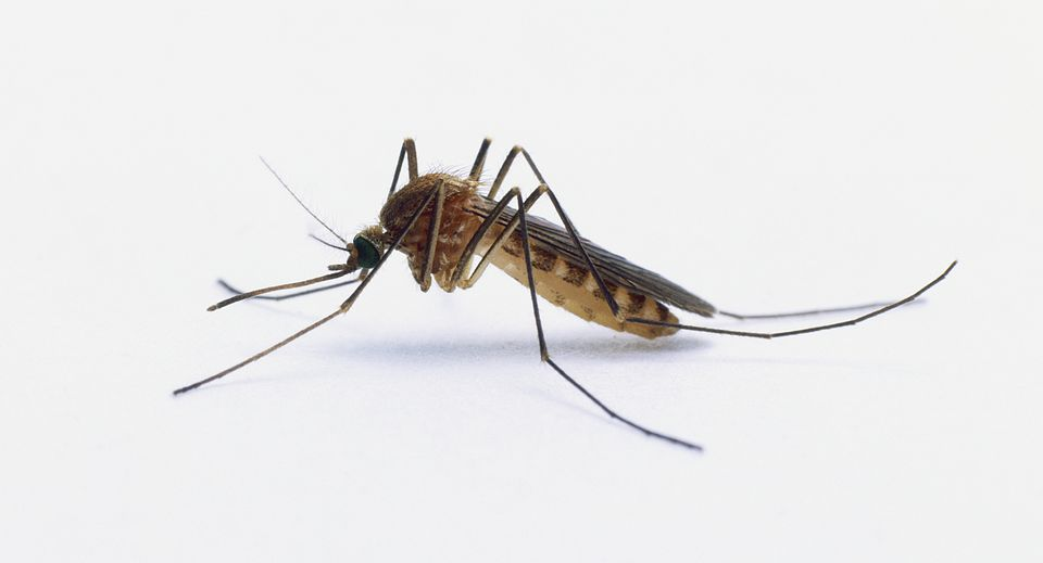 A mosquito, close up.