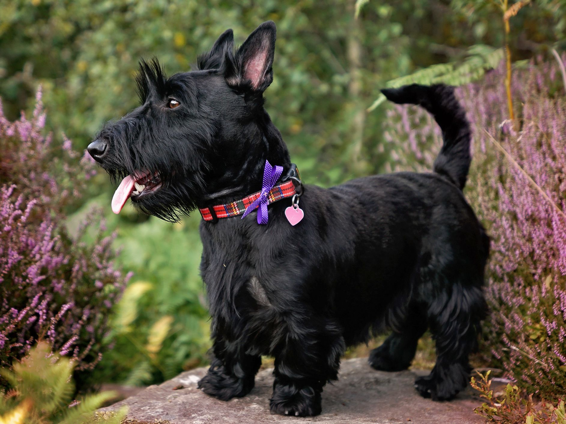 Scottish Terrier Full Profile History And Care