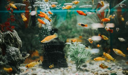Fish tank with mollies and guppies