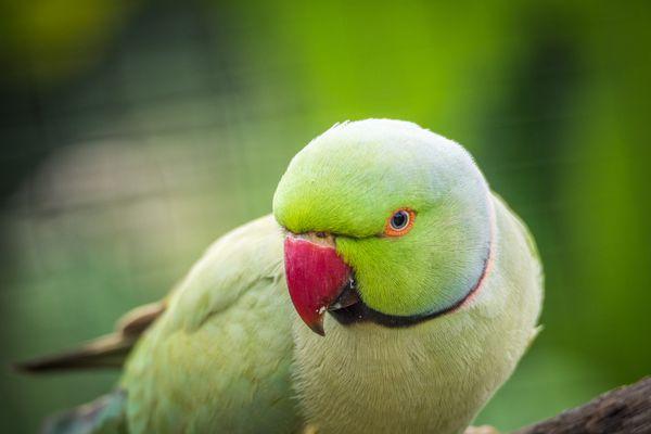 Ringneck Parakeet